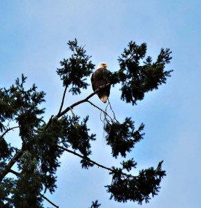stahlbush-eagle2