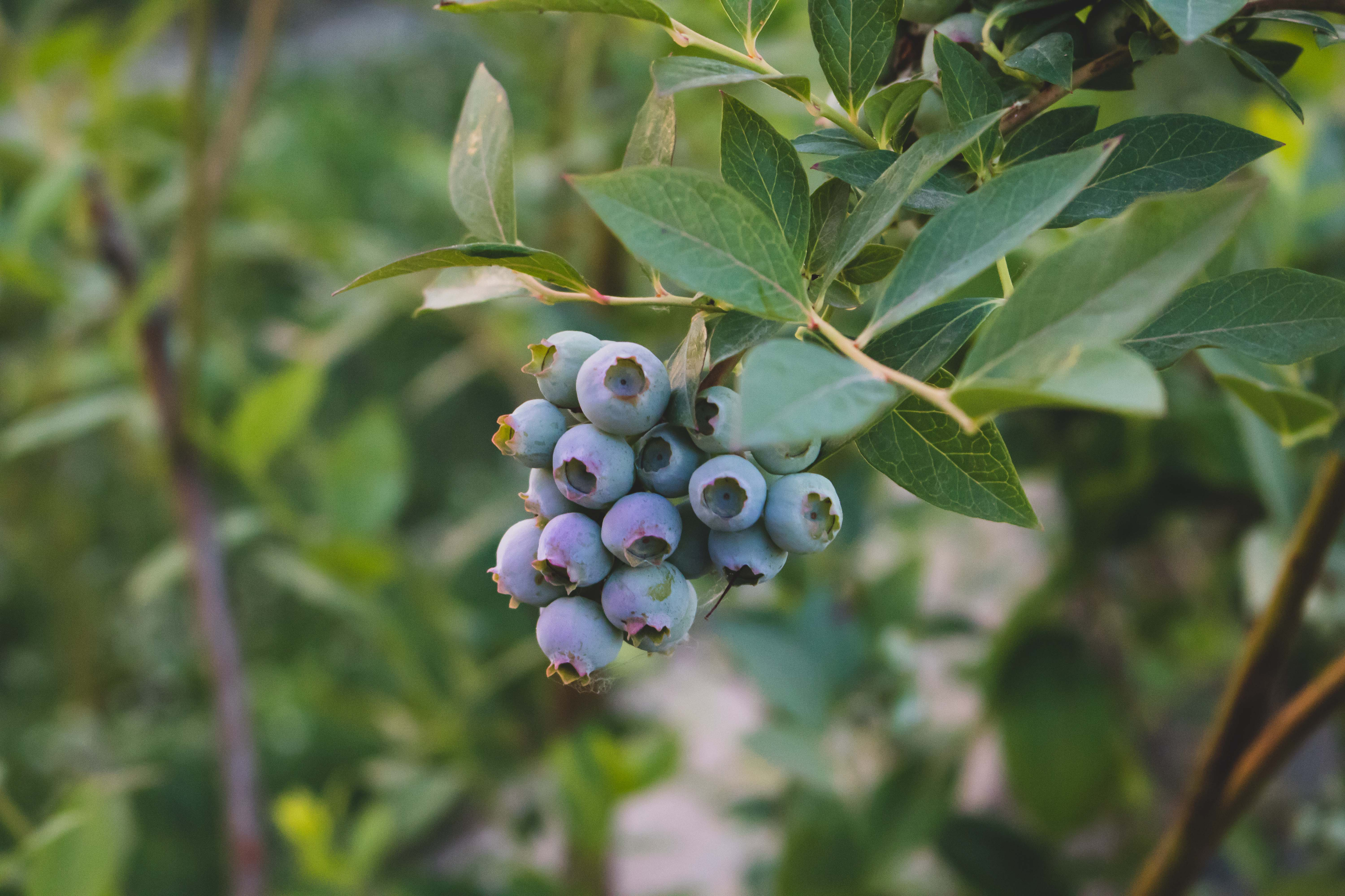 a cluster of blueberries ripen on a bush at sunset