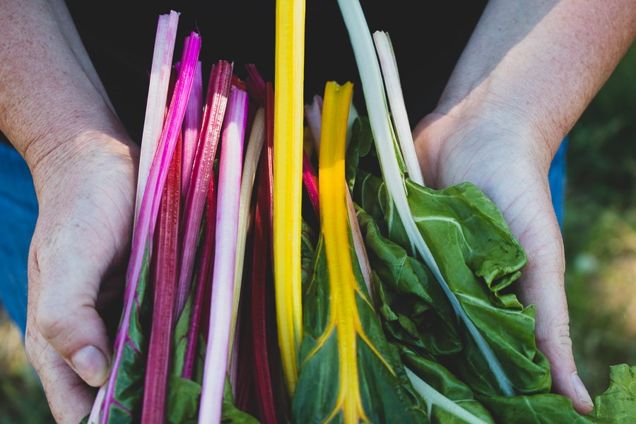 hand holding colorful array of chard stems
