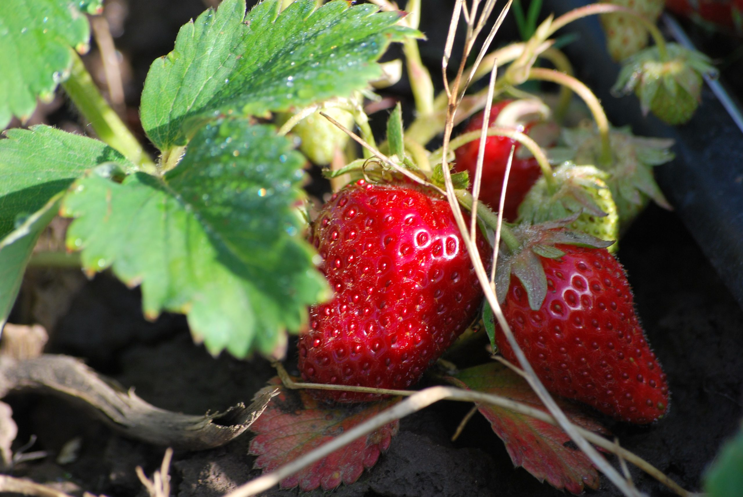 Stahlbush Island Farms Sustainable Frozen Vegetables ripe ripe strawberries in the field