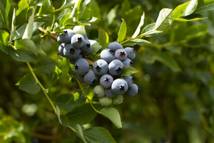 Stahlbush Island Farms Sustainable Blueberries In the Field In Spring