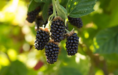 Stahlbush Island Farms Sustainable Frozen Vegetables ripe marionberry on the vine