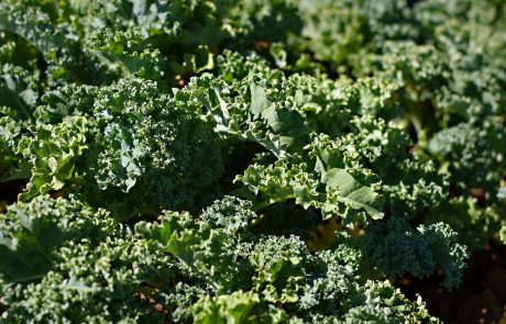 Stahlbush Island Farms Sustainable Frozen Vegetables Kale in Field