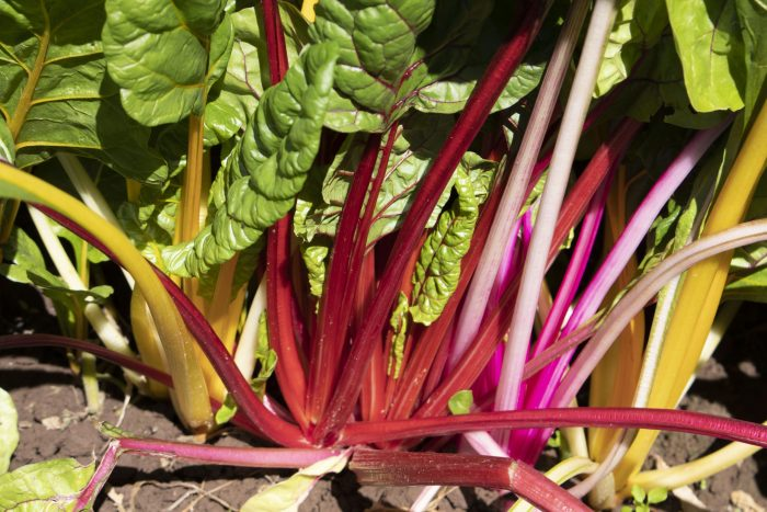 Stahlbush Island Farms Sustainable Frozen Vegetables Rainbow Swiss Chard In Field