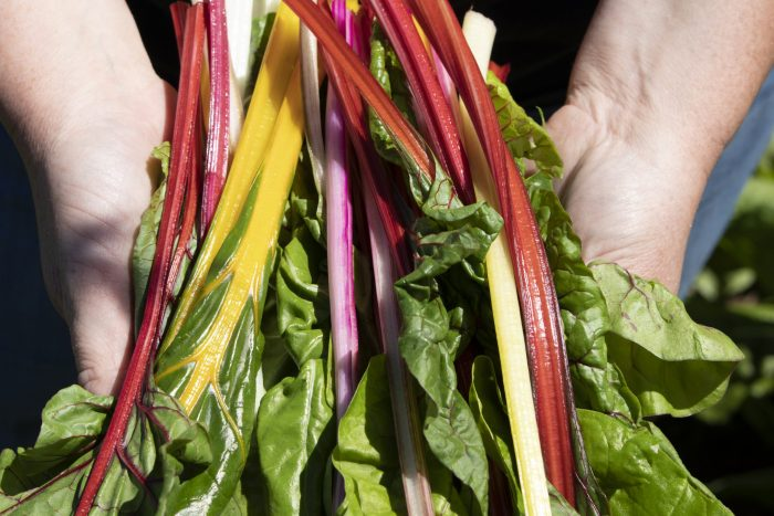 Stahlbush Island Farms Sustainable Frozen Vegetables Rainbow Chard Being Held in Hands