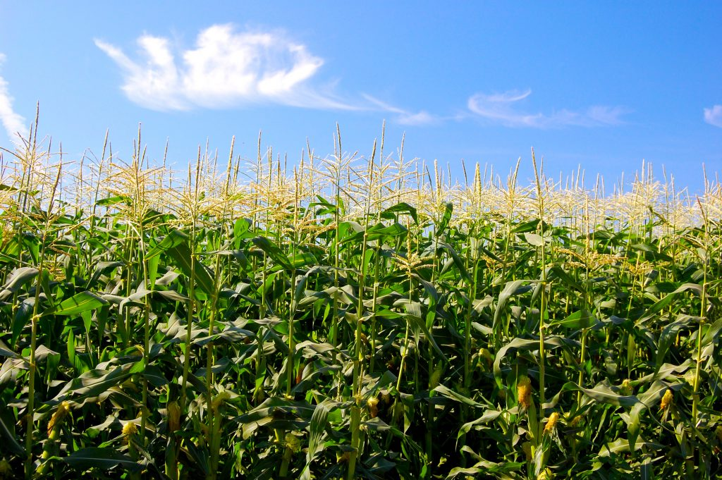 Stahlbush Island Farms Sustainable Frozen Vegetables Corn In Field